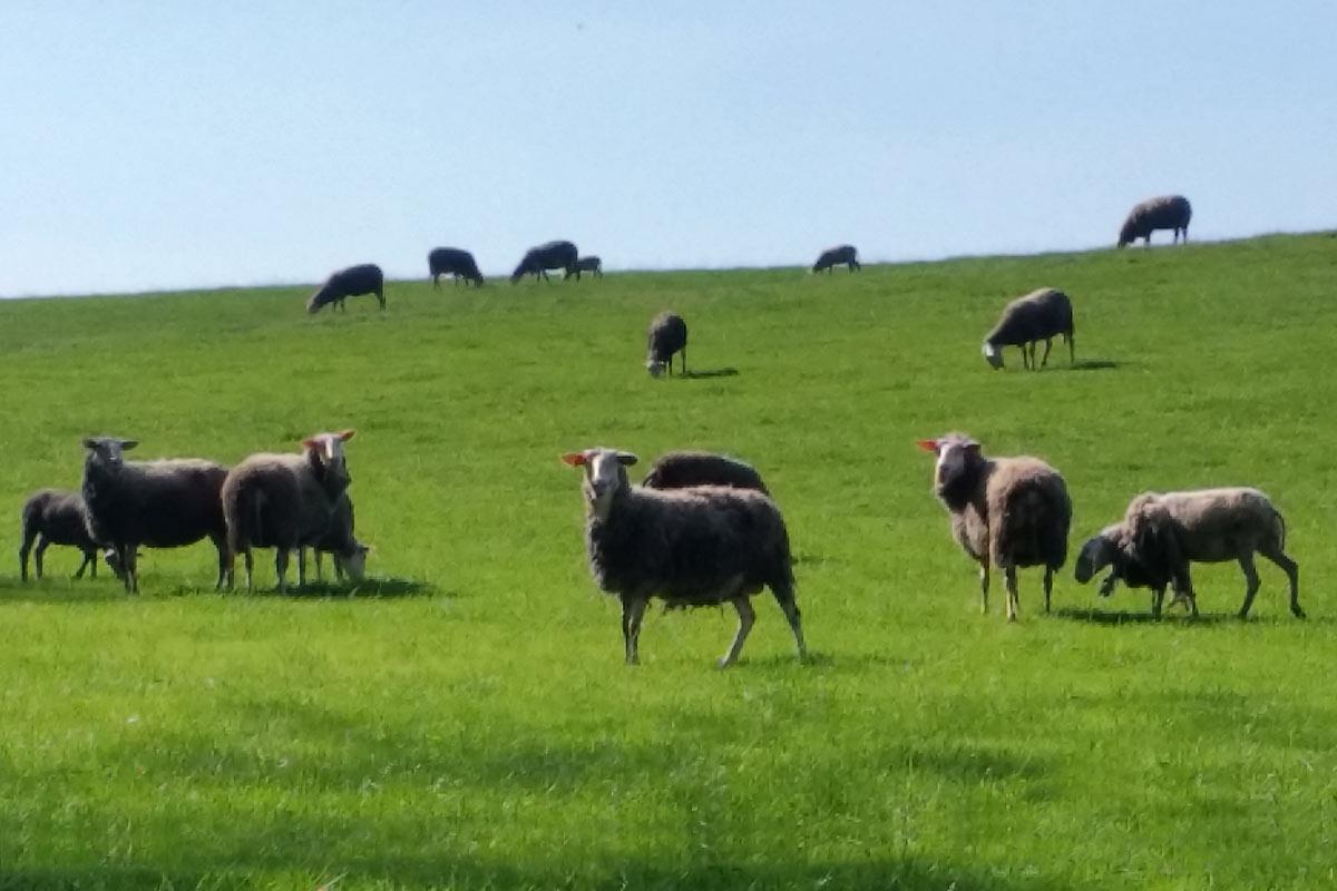 Tierkommunikation - Schafe auf der Weide